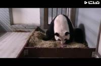 پاندای غول پیکر از فهرست حیوانات در معرض خطر خارج شد