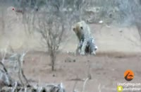 عاقبت شکار جوجه تیغی توسط پلنگ