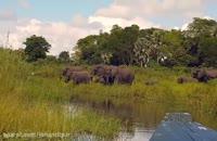 کلیپ شکار فیل توسط کروکودیل