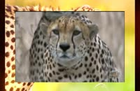 ناب ترین صحنه های شکار یوزپلنگ، فراری حیات وحش