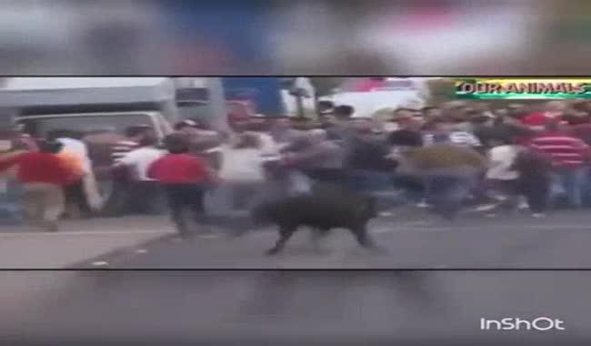 گاوبازی خطرناک در اسپانیا
