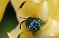 روش عجیب گل ارکیده برای گرده افشانی