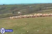 وقتی یه چوپانِ نابغه و یه مهندس رو با یه گله گوسفند تنها بزاریم