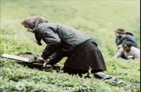 تصاویری از برداشت چای شمال،لاهیجان