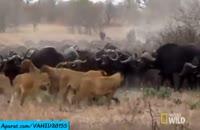 شکار بوفالو توسط شیرها