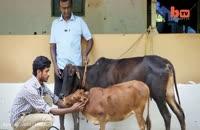 قد کوتاه ترین گاو جهان