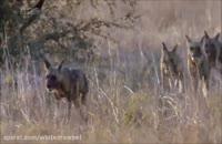 کلیپ معرفی سگ وحشی آفریقایی