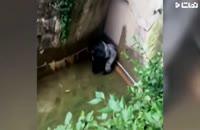 کلیپ گرفتن بچه توسط گوریل در باغ وحش