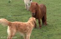 دوستی بسیار جالب یک اسب پاکوتاه و سگ