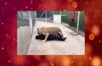واکنش یک شیر وقتی مربی خود را می بیند