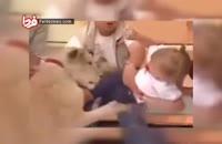 لحظه حمله شیر به کودک در برنامه زنده