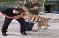 نبرد سید جواد هاشمی با ببر در باغ وحش